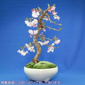 【枝姿】十月桜 盆栽(本格盆栽仕立て)【秋と春に開花する品種】【送料無料】