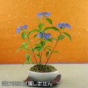 山アジサイ(紫陽花)藍姫(あいひめ)鉢植え盆栽【送料無料】【4月下旬発送開始】【6月頃開花】