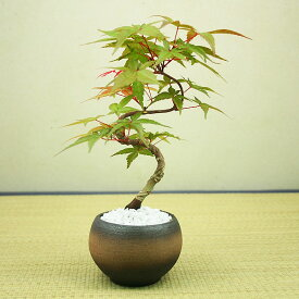 出猩々(デショウジョウ)もみじミニ盆栽【挿し木】【送料無料】