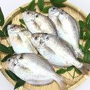 しず 5匹/ 600g〜700 瀬戸内鮮魚 送料無料/産地直送/とれたて魚