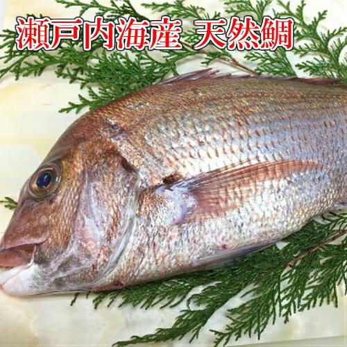 天然たい 刺身用 鯛 タイ 瀬戸内海産天然鯛 季節限定「約2kg/1匹」鮮魚 活〆活魚 さしみ 魚 ギフト 御祝 内祝 誕生祝 御供