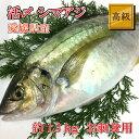 【送料無料 活〆シマアジ一匹1.2kg〜1.3kg】刺身用 国産鮮魚 しまあじ 酒肴 刺身用活魚 お取り寄せグルメ ギフト