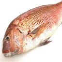 たい お刺身用 鯛 (約2kg、1匹)鮮魚/活〆/活魚/新鮮/さしみ
