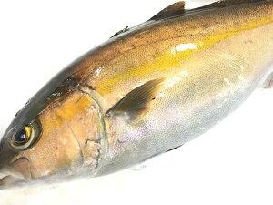 カンパチ 刺身用 かんぱち・約1.7kg、1/2・片身 鮮魚 活〆活魚 刺身用 活魚
