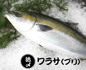 活〆ワラサ(ブリ) 4kg〜4.5kg 調理済  [ワラサ](養殖)