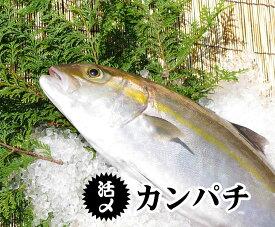 活〆カンパチ 1尾 3.5kg〜4.0kg(養殖)