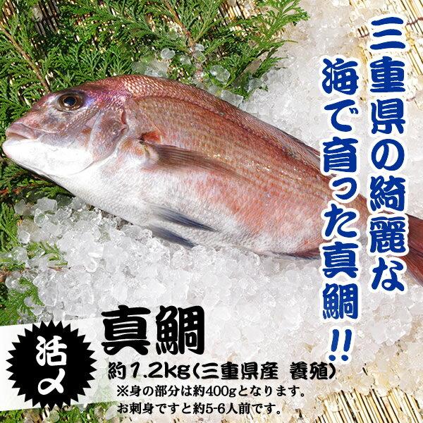 活〆 真鯛 1枚 約1.2kg(三重県産 養殖)