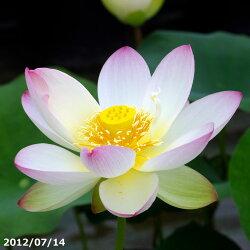 花ハスポット販売黄陽10号【送料無料】【花蓮、花ハス】【小型品種】【好日性宿根草】