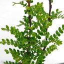松茸の香りする サンショウの木 3.5号