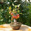 姫リンゴ (イヌリンゴ) 4.5号浅鉢(13.5cm) 【盆栽素材】【ミニ 盆栽 苗】【落葉樹】【姫りんご ヒメリンゴ 林檎】