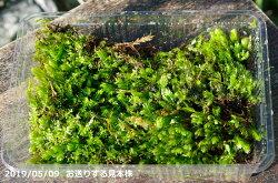 ホウオウゴケ(和歌山紀南産)大パック(27cm×19cm)【苔テラリウム・苔ボトリウム・ビバリウム】【夏日陰の苔】【湿生植物・水生植物】【アクアリウム】