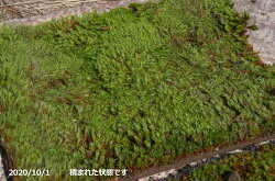 粘土質の土で育てられた庭園用スギゴケ・杉苔(ウマスギゴケ)大トレー(長方形2枚入り)【造園・庭園用】【夏半日陰の苔】