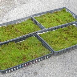 【京の苔】庭園に貼るスギゴケ大トレー(角切り2枚入り)【造園・庭園用】【好日性の苔】【湿生植物】