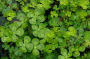 メダカが喜ぶ生きたミジンコ入り ウォータークローバー ムチカ 4号(12cmポット)【春〜秋の水生植物】【ビオトープ】【水生植物・…