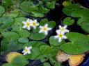 メダカが喜ぶ生きたミジンコ入り ガガブタ 4号(12cmポット)【夏〜秋の水生植物】【ビオトープ】【浮葉植物】【好日性宿根草】