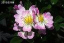 テリハツクシノイバラ 3号(9cmポット)【原種のバラ】【野生のバラ】