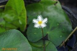 ガガブタ4号(12cmポット)【水生植物・浮葉植物】