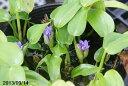 秋の水生植物 コナギ 4号(12cmポット)【水生植物・抽水植物】【好日性植物】【一年草】