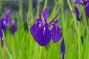 カキツバタ 鶴の舞 4号深  【初夏の水生植物(抽水植物)】【好日性宿根草】