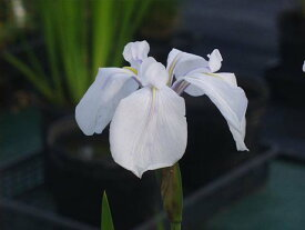 カキツバタ 白鷺 4号深  【初夏の水生植物(抽水植物)】【好日性宿根草】
