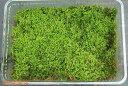 【京の苔】養生したヒメハイゴケ(特選ハイゴケ) 大(L)パック(外径27.5cm×19.3cm) 【夏半日陰のコケ】【戸外栽培用の苔玉】【…