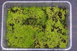 苔盆栽に最適スナゴケフタ無し大パック(27cm×19cm)【苔盆栽】【苔テラリウム】【小山飾り】【寄せ植え】