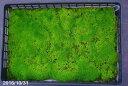 【京の苔】スナゴケ 小トレー (サイズ:52cm×35cm) 【苔盆栽】【苔テラリウム】【好日性の苔】