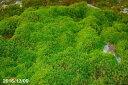 【京の苔】オオスギゴケ(杉苔)(鑑定済)  大パック(27cm×19cm) 【苔盆栽】【苔テラリウム・苔ボトリウム・ビバリウム】【庭園】【…