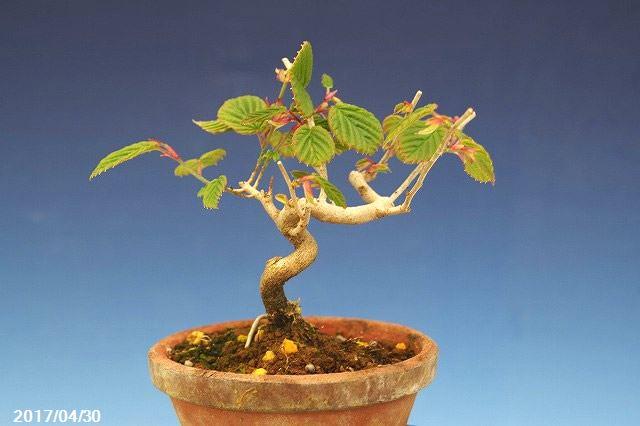【春の花木】ヒメトサミズキ  4号浅【盆栽素材】【苔玉素材】【小山飾り素材】