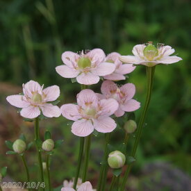 紅花コウズウメバチソウ 2.5号 【高山植物】【山草系日陰の宿根草】