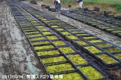【京の苔】天然スナゴケ大トレー(サイズ:59cm×39cm)1枚【庭園の苔】【造園】【好日性の苔】
