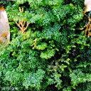 コウヤコケシノブ 小(S)パック【シダ植物】【テラリウム】【日陰の植物】【四季の山野草】