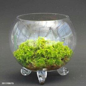 生ミズゴケの苔テラリウム 4号(12.5cm)(肥料付) 初心者に最適!育てやすい。