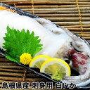 お刺身用 !! 島根県産 白いか(剣先いか) 1本もの胴長18cm前後のケンサキイカです。山陰ではシロイカと呼びます。