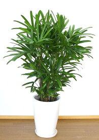 【送料無料】開店祝い 4万5千円 観葉植物カンノンチク12号陶器鉢(本体価格45,000円)