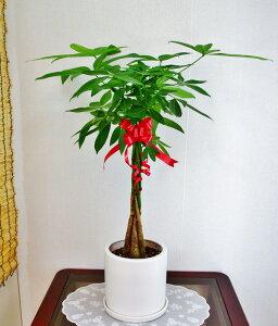 開店祝い1万5千円 観葉植物パキラ6号 白陶器鉢(受皿付)16,500円(15,000円税抜)