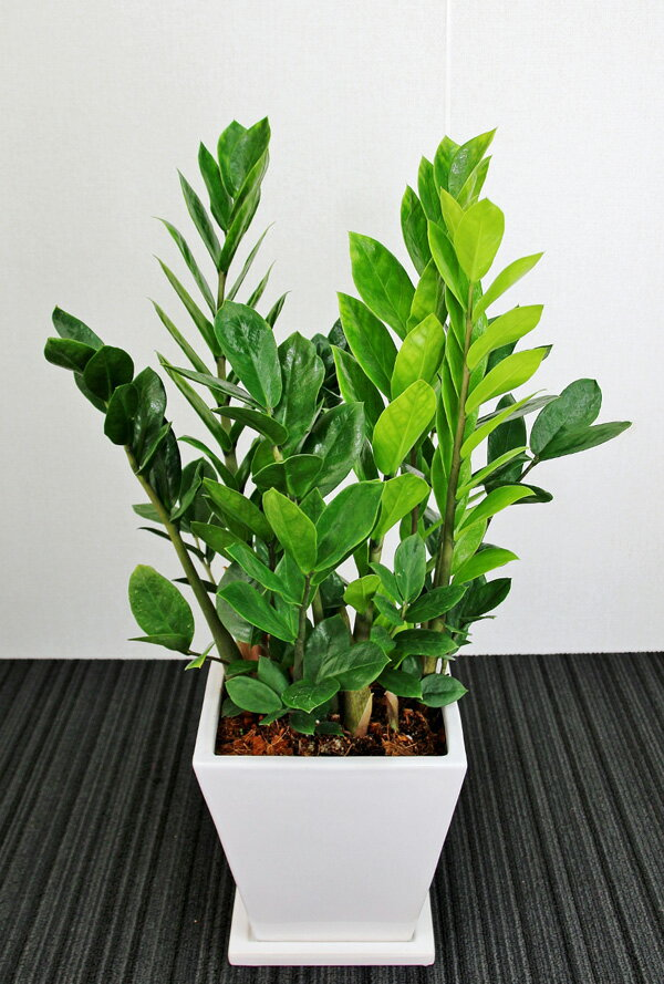【送料無料】観葉植物 開店祝い1万5千円 ザミオクルカス6号陶器鉢(本体価格15,000円)
