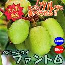 【送料無料】ベビーキウイ「ファントム」【ミニ果樹苗9cmポット/2個セット】1本で実が成り、耐寒耐暑性抜群で極甘でほ…