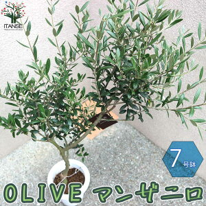 【送料無料】幹が太くしっかりした大苗 オリーブの苗木【果樹の苗木 7号鉢 5年生 挿し木苗/1個売り】オリーブ苗 オリーブ苗木 オリーブの苗木 オリーブの苗 おりーぶ ひなかぜ hinakaze olive