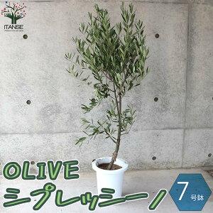 【送料無料】「シプレッシーノ」鉢物なのでほぼ年中植付けOK! オリーブの苗木【果樹の苗木 7号鉢 幹が太くしっかりした大苗 5年生 挿し木苗/1個売り】オリーブ苗 オリーブ苗木 olive シンボ