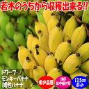 【送料無料】ドワーフ・モンキーバナナ【果樹苗 13.5cmポット/1個】バナナ苗 ばなな苗 人気 矮性バナナ 南国フルーツ …