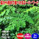 【送料無料】モリンガ【ハーブ苗 9cmポット1個】モリンガ 奇跡の木 苗木 希少 リーフ 栄養素 食用 常緑樹 通年植付け …