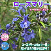 【送料無料】ローズマリーモーツァルトブルー(半立性)【ハーブ苗9cmポット/3個セット】ローズマリーの中では最も濃いブルーの花で知られています。半立性なので、鉢植えでも地植えでも扱いやすく、何といっても非常に濃いブルーの花が魅力です。