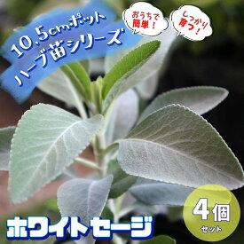 【送料無料】ホワイトセージ(サルビア・アピアナ) 10.5cm 4個セット【おうちで簡単!育てやすい10.5cmポットハーブ苗シリーズ!】根張り・大きさ・選別が良いので、育てやすい!生育簡単で初心者にもオススメのハーブシリーズです!ガーデニングや家庭菜園に!