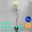 【送料無料】パキラ ミルキーウェイ 曲がり1本立ち 【大型 観葉植物 7号鉢/1個】リビング オフィス 事務所 インテリア…