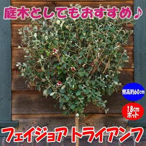【送料無料】フェイジョア トライアンフ:花も美しい庭園向き果樹 18cmポット:樹高約60cm 【九州圃場より直送】