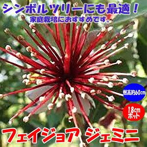 【送料無料】フェイジョア ジェミニ:花も美しい庭園向き果樹 18cmポット:樹高約60cm 【九州圃場より直送】
