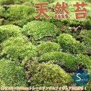 【送料無料】フィギュア3個(ランダム)付きです。※苔の種類は選べません天然苔【観葉植物Sサイズトレー入り(トレー外寸:260×350mm)/1個売り】苔コケトレー入りコケリウム苔ジオラマ苔テラリウム山苔ヤマゴケ