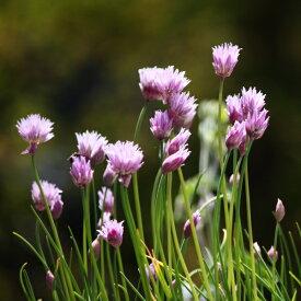 【種子】チャイブタキイ種苗のタネ