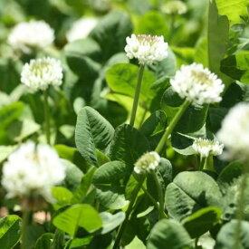 【種子】シロクローバー(品種名:フィア)お徳用500g袋!カネコ種苗のタネ